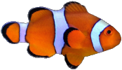 94 945500 percula clownfish by susan coral reef fish